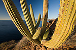 An oblique, low angle light enhances the details defined by vertical ribs of a cordon cactus on a tiny island in the Sea of Cortez. The graceful sweep of arcing limbs makes this cactus one of the region's most striking flora.