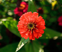 An orange Zinnia flower viewed from above in a garden.