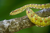 489180004 a captive yellowish green and red spotted eyelash viper bothriechis schlegelii sits coiled on a tree limb species is native to south and central america