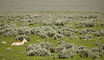 A single pronghorn antelope rests in a grassy field.