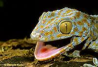 GK02-015z  Tokay Gecko - uttering threatening sound at intruder - Gekko gecko