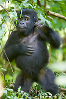 Mountain Gorilla, Bwindi Impenetrable National Forest, Uganda, East Africa