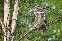 Great Horned Owl perched on the branch of birch tree in the boreal forest of Fairbanks, Alaska