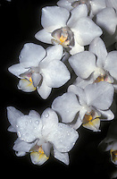 Moth Orchid Phalaenopsis Timothy Christopher in white miniature flowers