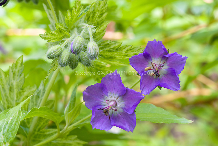 Geranium phaeum 'Margaret Wilson' in purple blue mauve flowers and lbuds