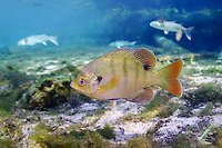 Bluegill (Florida)<br />