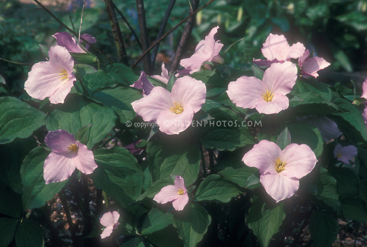 Pink Showy Trillium grandiflorum f. roseum in spring bloom, showing plant habit, leaves and flowers GR7895