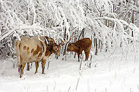 Longhorn cow and calf stand near snow covered treeline during snow storm.