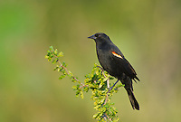 508950029 a wild male red-winged blackbird agelaius phoenicius perches on a small plant on dos venadas ranch starr county texas