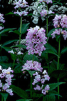 Nepeta subsessilis Sweet Dreams in bicolor pink bloom