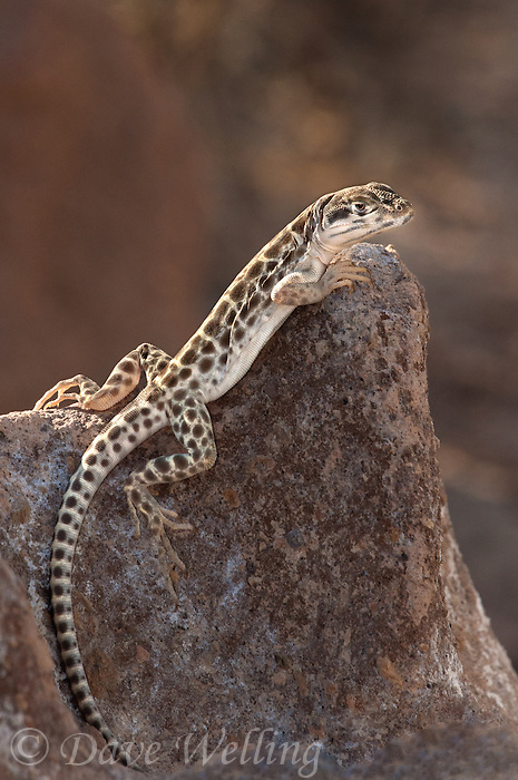 437880001 a wild long-nosed leopard lizard gambelia wislizeni perches on a large rock along chalk bluffs road inyo county california