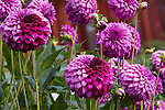 Dahlia in Butchart Gardens, Victoria, British Columbia, Canada.