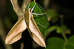 Taveuni, Fiji; a Sphinx Moth (Theretra pinastrina intersecta) sits on a leaf of a Hibiscus plant