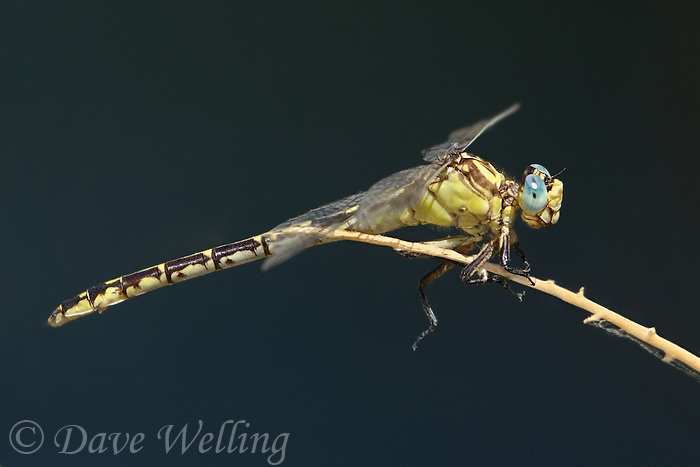 333990001 a wild female olive clubtail dragonfly stylurus olivaceus perches on a dead twig over a small stream at black rock springs in southern inyo county california united states