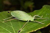 A female Common True Katydid (Pterophylla camellifolia) perches on a low level wild grape plant leaf.