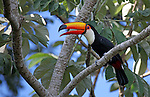 South America, Brazil, Pantanal.  A Toco Toucan overlooks the Aquidauana River of the Pantanal.