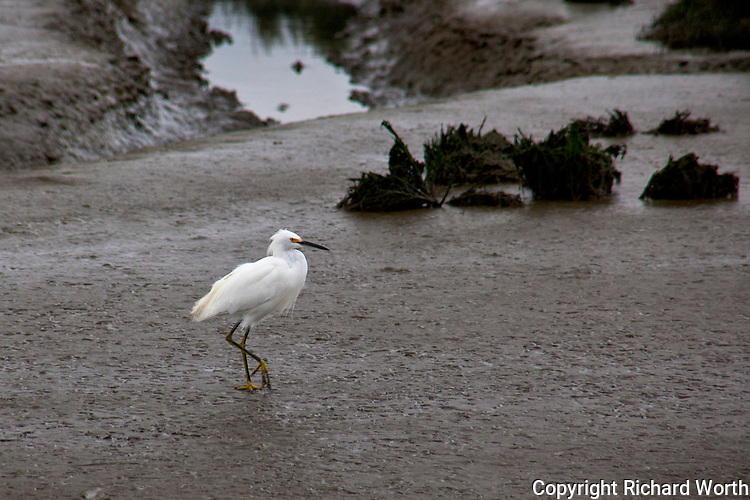 A Snowy egret wanders the muddy flats of the salt marsh at Hayward Marsh along the shores of San Francisco Bay.