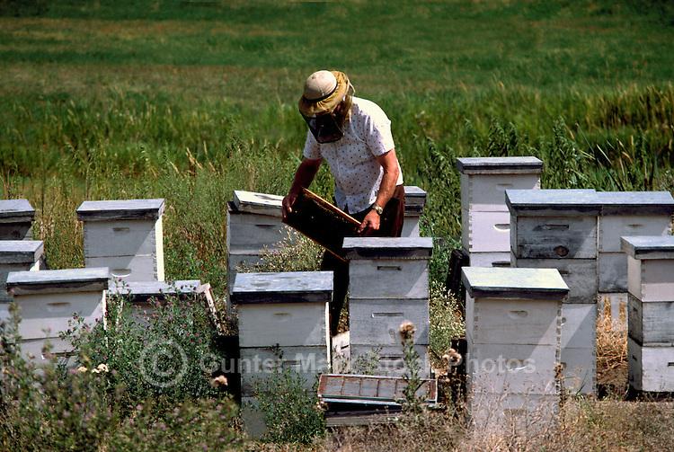 Beekeeper working on Honeycomb from Beehives on Field, South Okanagan Valley, BC, British Columbia, Canada - Beekeeping