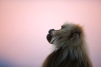 Gelada mature male profile at sunset (Theropithecus gelada), Simien Mountains National Park, Ethiopia.