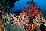 Soft coral (Dendronephthya sp.) gorgonian fan coral and sponges in the reef with bigeye jacks in the background