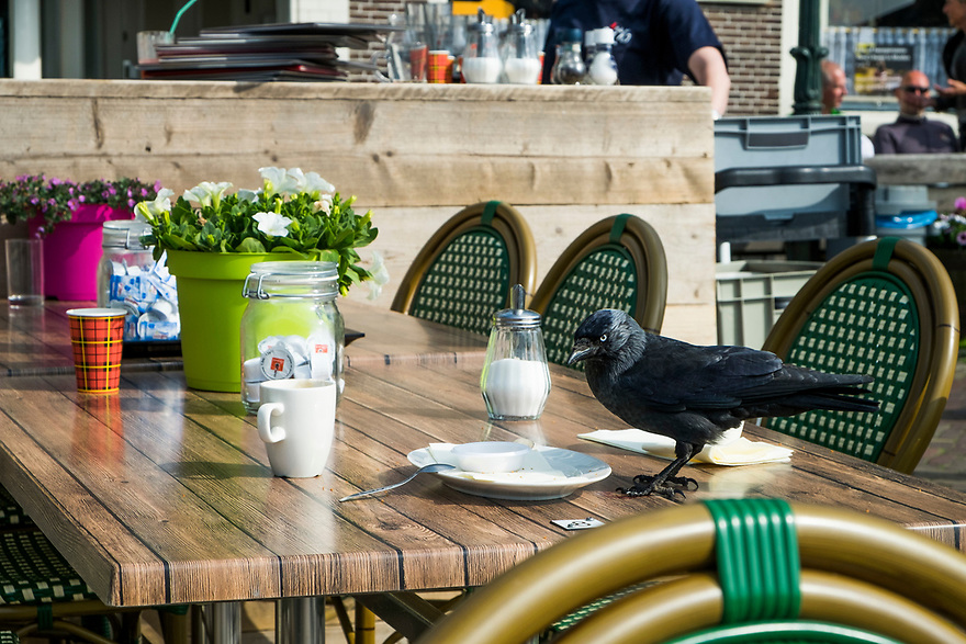 Nederland, Muiden, 20170506<br /> Kraai pikt kruimels op een terrastafel in het centrum van Muiden,<br /> <br /> Foto: (c) Michiel Wijnbergh