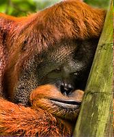 Orangutan at Memphis Zoo.