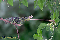 "1105-07zz  Jackson chameleon ""Shooting Out Tongue to Catch Insect"" - Chamaeleo jacksonii - © David Kuhn/Dwight Kuhn Photography [See 1105-07xx, 1105-07yy, 1105-07zz for Complete Tongue Flicking Sequence]"