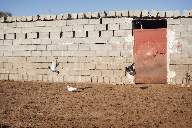 16/05/15. Awbar Village, Darbandikhan area, Iraq. -- Some pigeons fly in front of the sheep stable.
