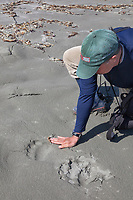 Brown bear tracks on a sandy beach on Kayak Island, Gulf of Alaska, southcentral, Alaska.