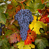 Agriculture - Mature Cabernet Sauvignon wine grapes on the vine, ready for the harvest / Monterey County, California, USA