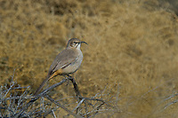 581970005 a wild leconte's thrasher toxostoma lecontei perches and sings from atop a sagebrush in kern county california