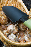 Bulb Planting time showing daffodil bulbs in wicker basket with garden trowel ready to plant in fall, part of trowel sharp, bulbs blurred