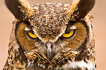 An owl stares at the photographer.