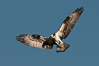 Hovering Osprey