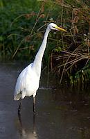 White Egret feeding