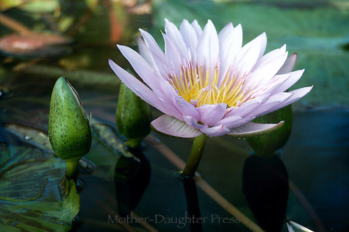 Water lily flower and bud, Liliaceae, growing in garden pool close up