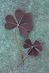Close up of two hairy clover-like purple leaves of Trifolium repens Purpurascens lying on copper cover with verdigris