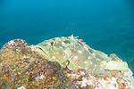 Pinzon Island, Galapagos, Ecuador; a Flag Cabrilla (Epinephelus labriformis) fish perched on the rocky reef with blue water in the background , Copyright © Matthew Meier, matthewmeierphoto.com All Rights Reserved