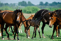 Wild horses and foals on the Great Hungarian Plain at Bugacz in Hungary