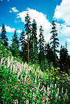 Oregon: Crater Lake National Park, Wildflowers and conifers, orcrat103  . Photo copyright Lee Foster, www.fostertravel.com, (510) 549-2202, lee@fostertravel.com