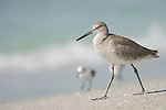 Captiva Island, Florida; a Willet (Tringa semipalmata) bird, walking on the sandy shoreline near the water's edge, formerly Catoptrophorus semipalmatus © Matthew Meier Photography, matthewmeierphoto.com All Rights Reserved