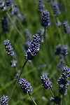 Spikes of lavender flowers blooming on a lavender farm to be used for lavender oil and cut for dried flowers
