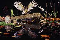 Barred Owl (Strix varia), adult landing on log in pond, Raleigh, Wake County, North Carolina, USA