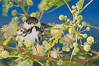 591510021 a wild male blackpoll warbler setophaga striata - was dendroica striata - in breeding plumage perches in a flowering tree on south padre island texas united states