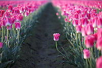 One pink tulip standing out from row, Mount Vernon, Skagit Valley, Skagit County, Washington, USA