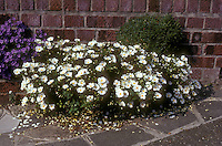 Cistus salviifolius showing entire plant, planted with Campanula against brick wall on patio