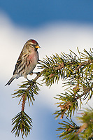 Male Common Redpoll perched on the branch of a pine tree