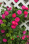 A climbing rose on white trellis