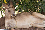 Undara Volcanic National Park, Queensland, Australia; a mother Eastern Grey Kangaroo (Macorpus giganteus) lying down under the shade of a bush, hiding from the hot afternoon sun