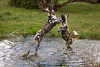 African Wild Dogs (Lycaon pictus) splashing in waterhole, Namibia